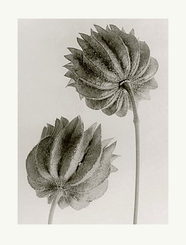 Blossfeldt-19.jpg